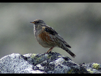 Accentor image