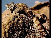 Andean Mountain Cat image