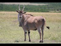 Common Eland image