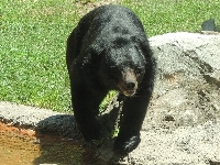 Asian Black Bear image