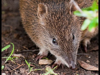 Bandicoot  -  New Guinean Spiny Bandicoot