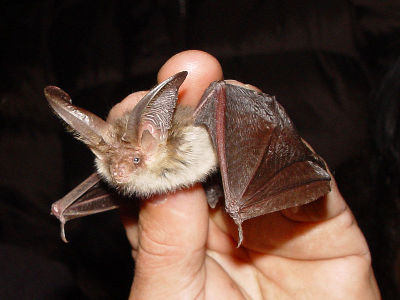 Bat  -  Brown Long-Eared Bat
