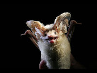 Desert Long-eared bat image