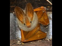 Yellow-winged bat image
