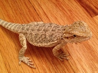 bearded_dragon/bearded_dragon_Central_Bearded_Dragonimage4