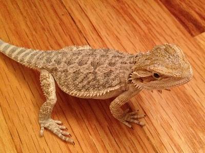 bearded_dragon/bearded_dragon_Central_Bearded_Dragon