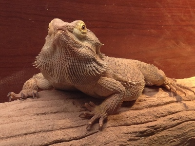 Bearded Dragon  -  Central Bearded Dragon