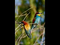 European Bee-eater image