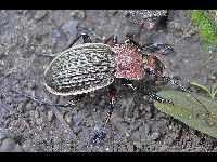 Reticulated Ground Beetle image