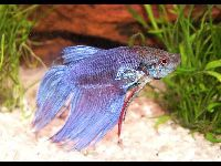 Siamese Fighting Fish image