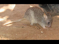 Bettong image