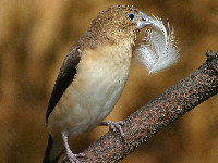 African Silverbill image