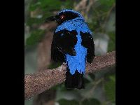 Asian Fairy-bluebird image