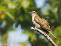 Black Billed Cuckoo image
