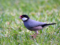 Java Sparrow image