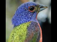 Painted Bunting image