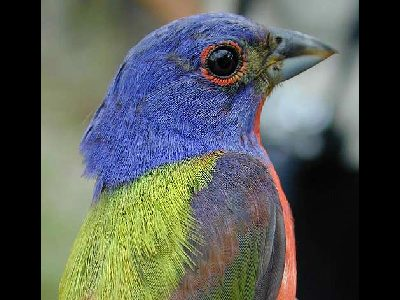 Bird  -  Painted Bunting