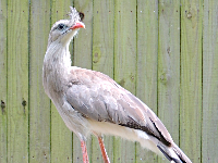 Red-legged Seriema image
