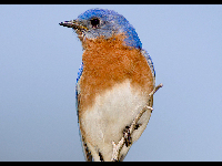 Eastern Bluebird image