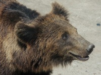Brown Bear image