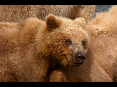 Brown bear  -  Kodiak Bear