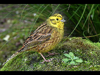 Yellowhammer image