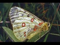 Apollo Butterfly image