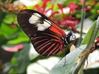 Doris Longwing image