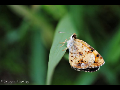 Butterfly  -  Northern Crescent