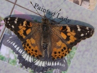 Painted Lady image