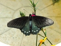 Pipevine Swallowtail image
