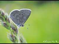 Silvery Blue image