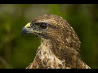 Common Buzzard image