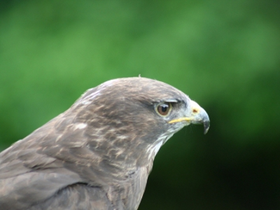 Buzzard  -  Common Buzzard