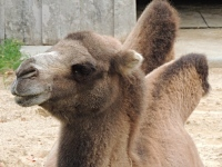Bactrian Camel image