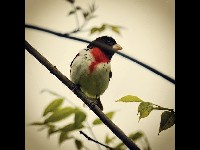 Rose-breasted Grosbeak image
