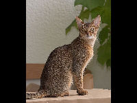 Abyssinian image