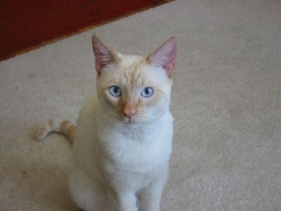Cat  -  Colorpoint Shorthair