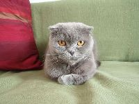 Scottish Fold image