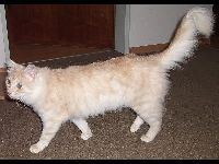 Turkish Angora image