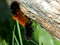 caterpillar/caterpillar_Banded_Woolly_Bearimage1