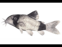 Panda Catfish image