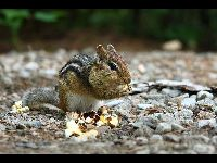 Eastern Chipmunk image