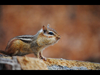 Least Chipmunk image