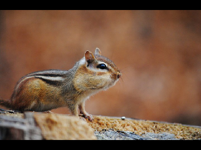 chipmunk/chipmunk_Least_Chipmunk