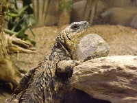 Common Chuckwalla image