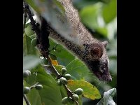 Asian Palm Civet image