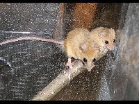 Climbing Mouse image