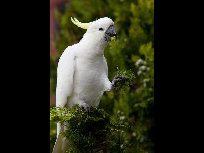 Cockatoo  -  Sulfur-crested Cockatoo