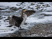 Great Cormorant image